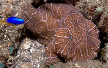 New Frogfish from Ambon Island in Indonesia
