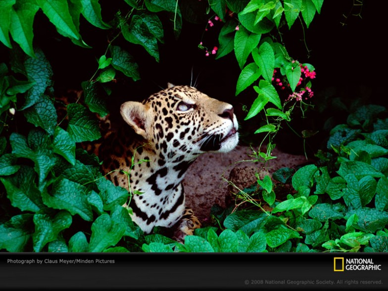Jaguar Desktop Picture